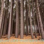 Sugar Pine Forest, NSW  (A2)