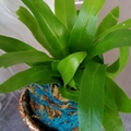 Kokedama in Pot - Fern (Pot 4)