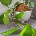 Kokedama - Devil's Ivy (Plant 31)