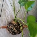 Hanging Kokedama - Devil's Ivy Plant