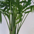 Hanging Kokedama - Parlour Palm (Coastal)