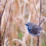 3 image set Fairy Wren Blue