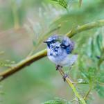 Fairy Wren Blue (3)