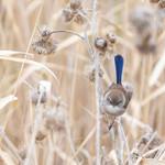 Fairy Wren Blue (4)