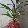 Kokedama - Cordyline (Plant 33)
