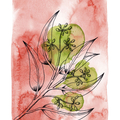 Seeded Gum Fine Art Print - A4 - Australian Native - Unframed