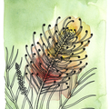 Grevillea: Peach Blush Fine Art Print - A4 - Australian Native - Unframed