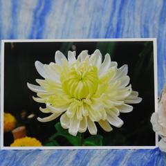 Close-up Chrysanthemum Photo on Blank Card