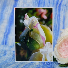 Rosebud Photo on a Blank Card