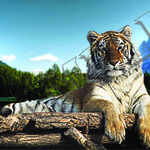 013 tiger resting on timber poster A3 Size