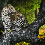 Jaguar in tree poster A3 Size