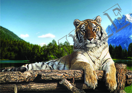 013 tiger resting on timber poster A4 Size