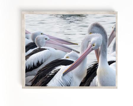 Australian Pelican Fine Art Print, The Entrance Pelicans, Central Coast