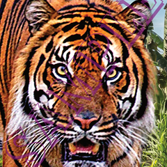 016 Close Up Tiger Staring poster A4 Size