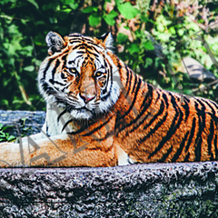 010 Tiger resting poster A4 Size
