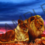 003 African Lions poster A4 Size