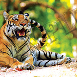 020 Tiger At Rest poster A4 Size