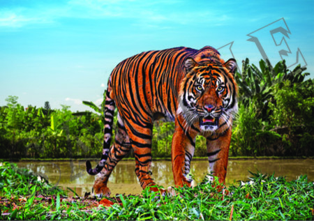 015 Tiger staring poster A3 Size