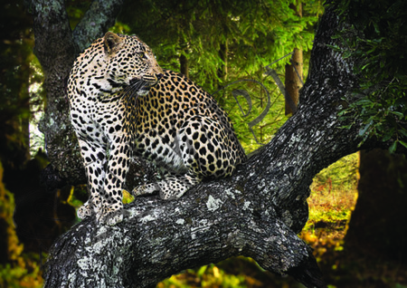 009 Jaguar in tree poster A4 Size