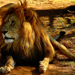 023 Lion resting poster A4 Size