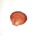Scallop Series : Tatum Original Ink on a scallop shell from Jervis Bay