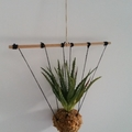 Hanging Kokedama - Aloe
