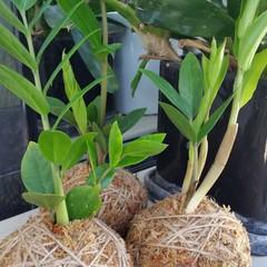 Kokedama - Zanzibar Gem Plant