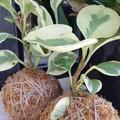 Kokedama - Peperomia Plant