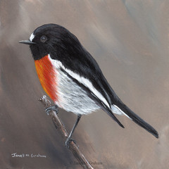Scarlet Robin, Original bird painting, bird art, Australian wildlife bird,