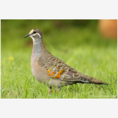 Common Bronzewing Pigeon