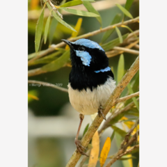 Male Superb Fairy-Wren in a Grevillea