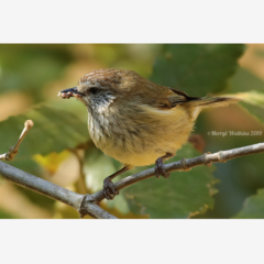 Striated Thornbill - Photographic Card