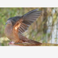Brown Cuckoo-Dove on the birdbath
