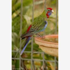 Juvenile Crimson Rosella on the birdbath