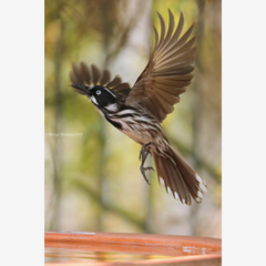New Holland Honeyeater in flight - Photographic Card