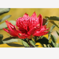 Waratah - Photographic Card