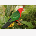 Male King Parrot in a loquat tree - Photographic Card