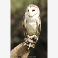 Barn Owl - Photographic Card