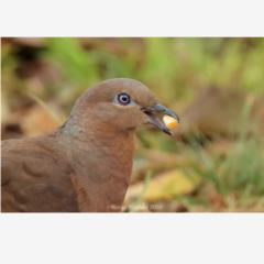 Brown Cuckoo-Dove eating corn