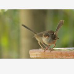 Female Superb Fairy-Wrens on the birdbath