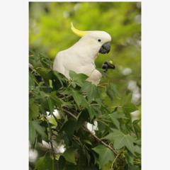 Sulphur-Crested Cockatoo in a Liquidambar - A4 print
