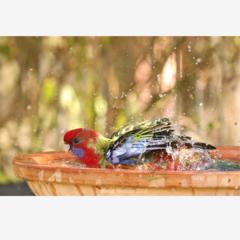 Juvenile Crimson Rosella having a bath - A4 print