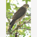 Brown Goshawk - Photographic Card