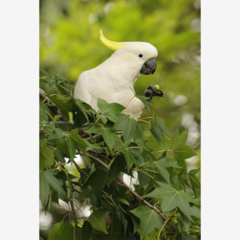 Sulphur-Crested Cockatoo in a Liquidambar -  Photographic Card
