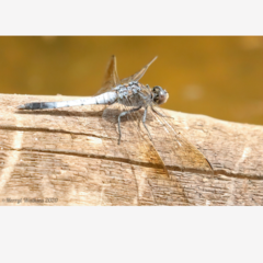 Dragonfly on a log - Photographic Card