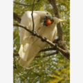 Sulphur-Crested Cockatoos sharing a mandarin -  Photographic Card