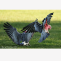 Galahs - Photographic Card