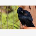 Male Satin Bowerbird - Photographic Card
