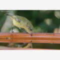 Yellow Thornbill with reflection - Photographic Card