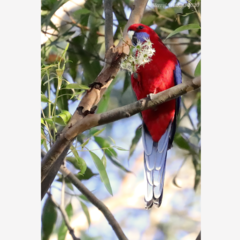 Crimson Rosella with Gum Blossom - Photographic Card